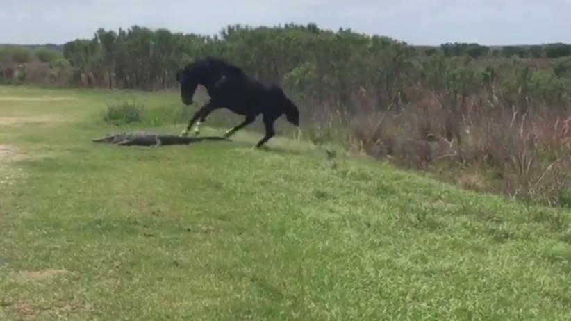 Koń zaatakował aligatora w parku na Florydzie [WIDEO]