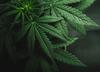 Rząd Kanady zalegalizował marihuanę. Można będzie ją kupić i uprawiać