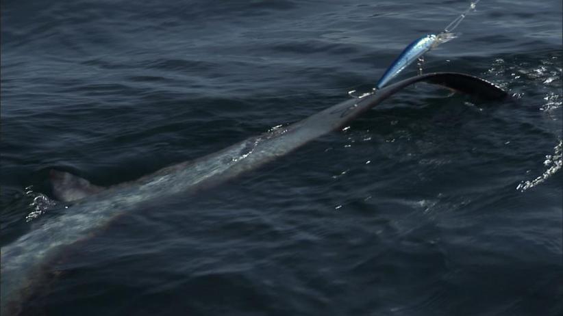 Meksyk: 300 martwych i wypatroszonych rekinów znalezionych przy drodze
