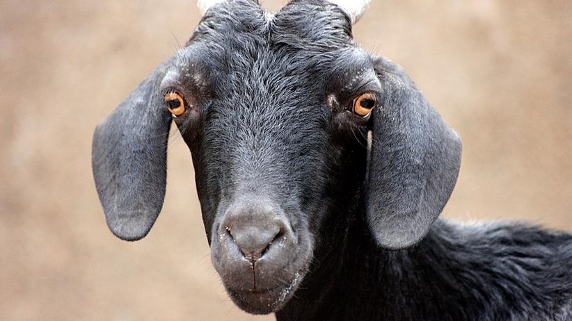 Mieszkańcy wioski zlinczowali 36-latka. Twierdzili, że zamienił ich sąsiada w kozę