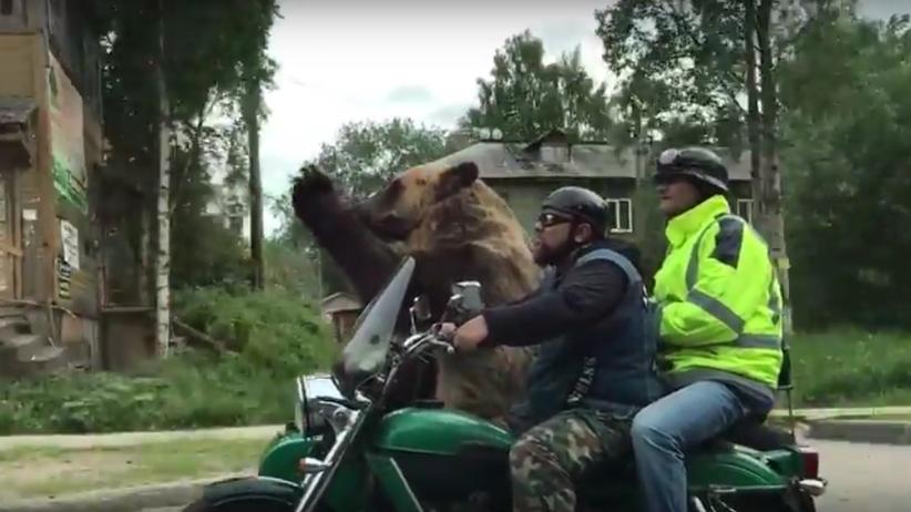 Niedźwiedź jedzie motorem i macha do ludzi. Takie rzeczy tylko w Rosji [WIDEO]
