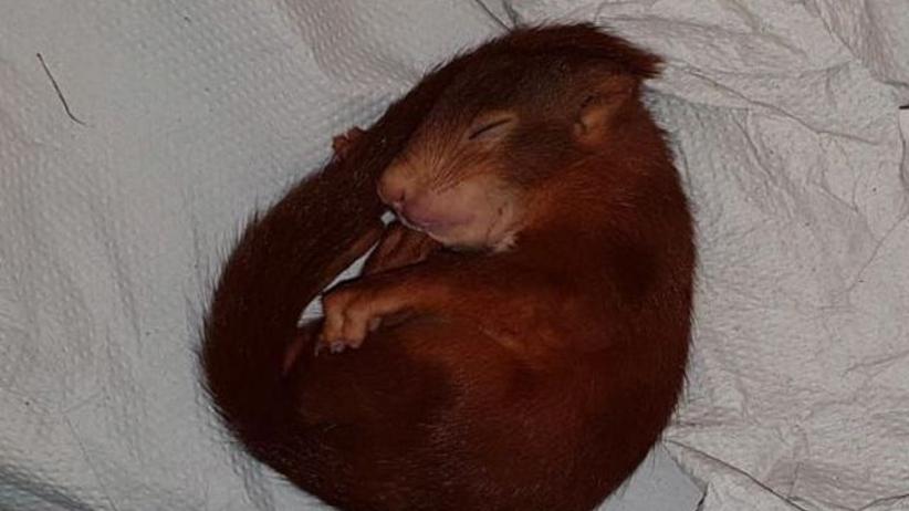 Wezwał policję, bo goniła go wiewiórka