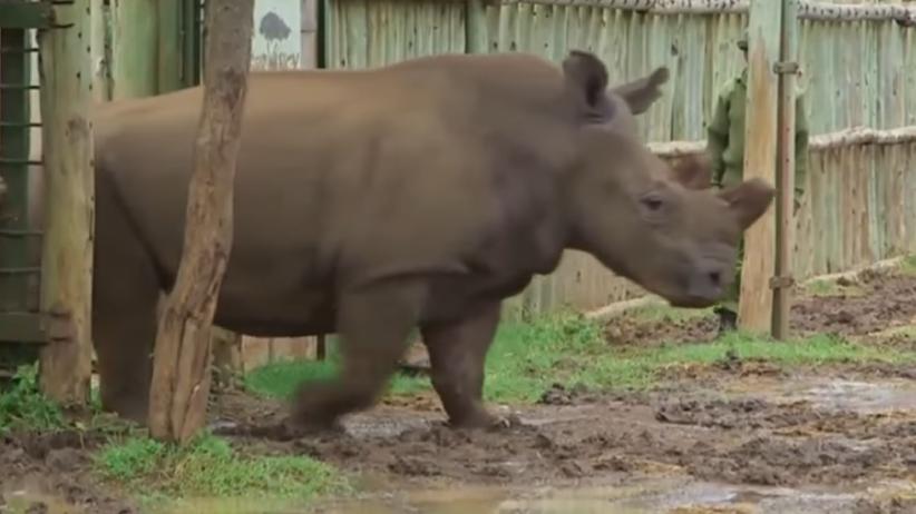 Nosorożec biały północny jest na Tinderze. O co chodzi?
