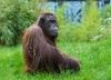 Populacja orangutanów poważnie zarożona. Zginęło już 150 tysięcy osobników