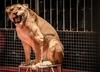 Lwica zaatakowała dziecko w cyrku. 4-latka trafiła do szpitala