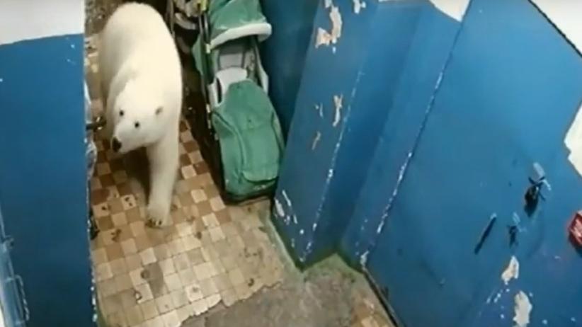 Inwazja niedźwiedzi polarnych. Wchodzą nawet do bloków mieszkalnych [WIDEO]