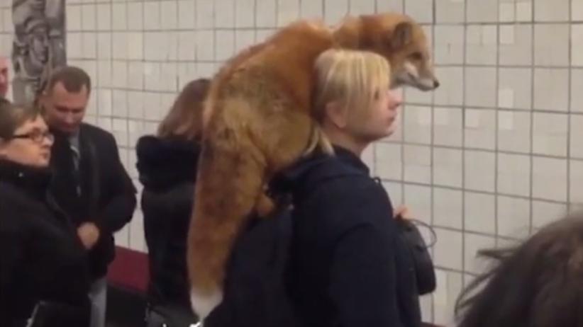 Szok pasażerów metra. Kobieta podróżowała z… lisem na ramieniu [WIDEO]