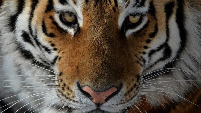 Uwaga, tygrys na drodze, czyli zwyczajny dzień w Rosji