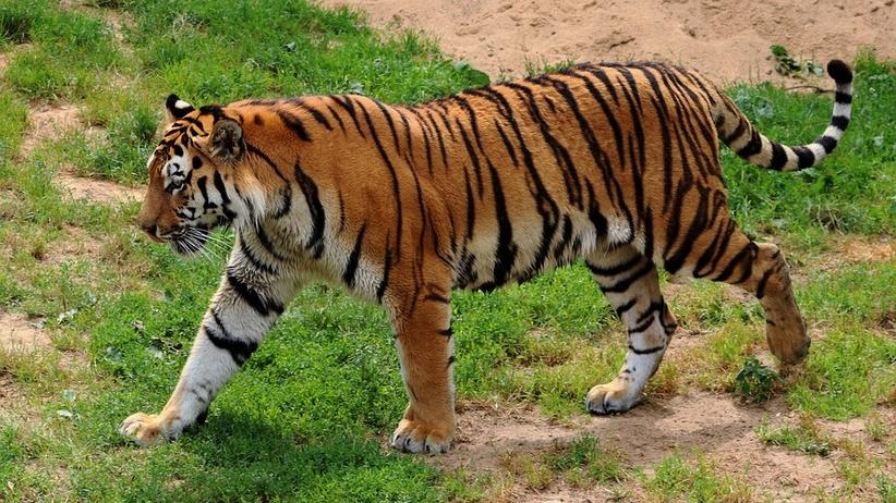 Tygrys syberyjski zaatakował opiekunkę w ZOO [FOTO]