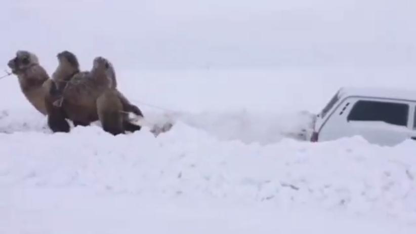 Rosja. Auto utknęło w śniegu. Z pomocą przyszedł… wielbłąd [WIDEO]