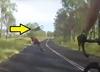 Rozpędzony kangur znokautował rowerzystkę. Wylądowała w szpitalu [WIDEO]