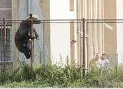 Rumunia. Atak niedźwiedzia. Zabił kozę i przeszkoczył szkolne ogrodzenie