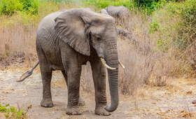 Kierowca samochodu wjechał w słonia. Zwierzę zadeptało go na śmierć