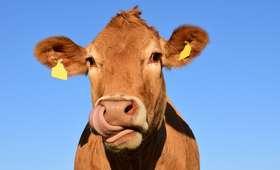 Rolnicy stworzyli Tindera dla krów. ''Telefon wydaje odgłos muczenia''