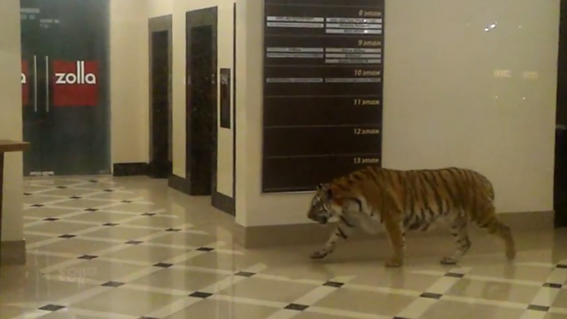 Tygrys syberyjski spacerował po centrum handlowym w Rosji [WIDEO]