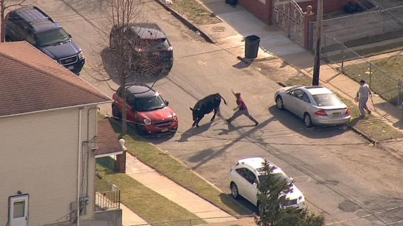 Queens, NY: Byk uciekł z rzeźni i nie dawał się złapać [WIDEO]