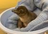 Oto Pierogi - pingwin mały z zoo w Cincinnati. Imię nadali mu internauci