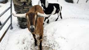 Koza została burmistrzem miasteczka. Jej rywalką była suczka samojed [WIDEO]