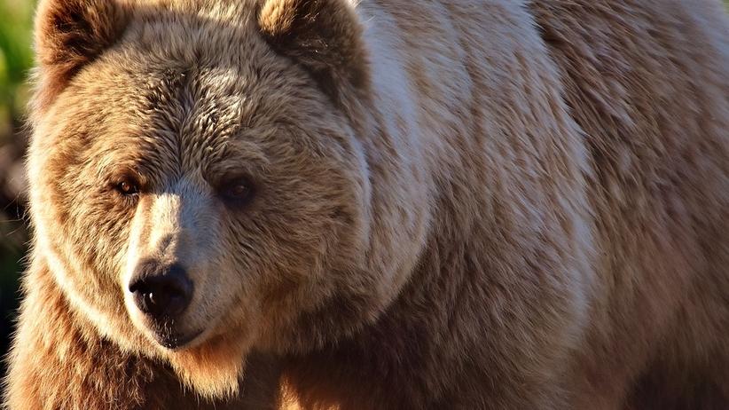 Niedźwiedź wsiadł do samochodu i ruszył. Daleko nie zajechał [FOTO]