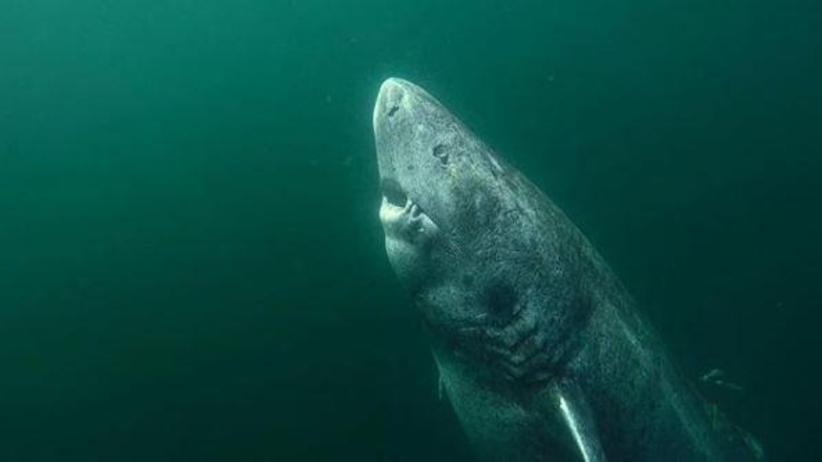 W Atlantyku odkryli ponad 500-letniego rekina. Pływa od początku XVI wieku