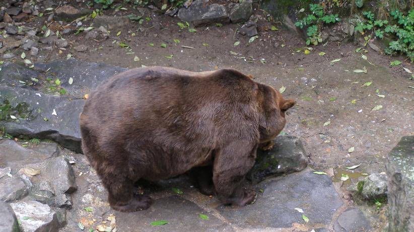 Niedźwiedź wtargnął do domu. W środku przebywała rodzina z małymi dziećmi [FOTO]