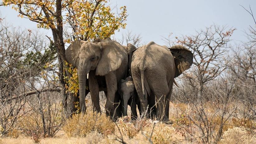 Tragedia w ośrodku wypoczynkowym. Słoń stratował na śmierć dwoje turystów
