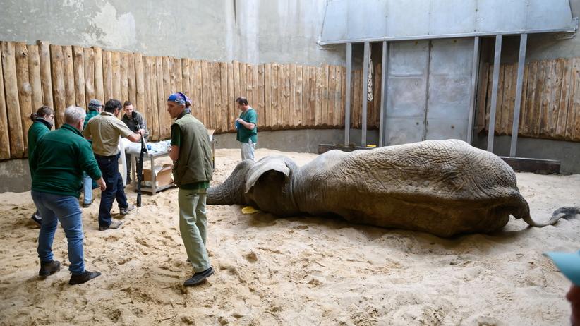 Słoń Ninio u dentysty. Podopieczny poznańskiego ZOO przeszedł operację