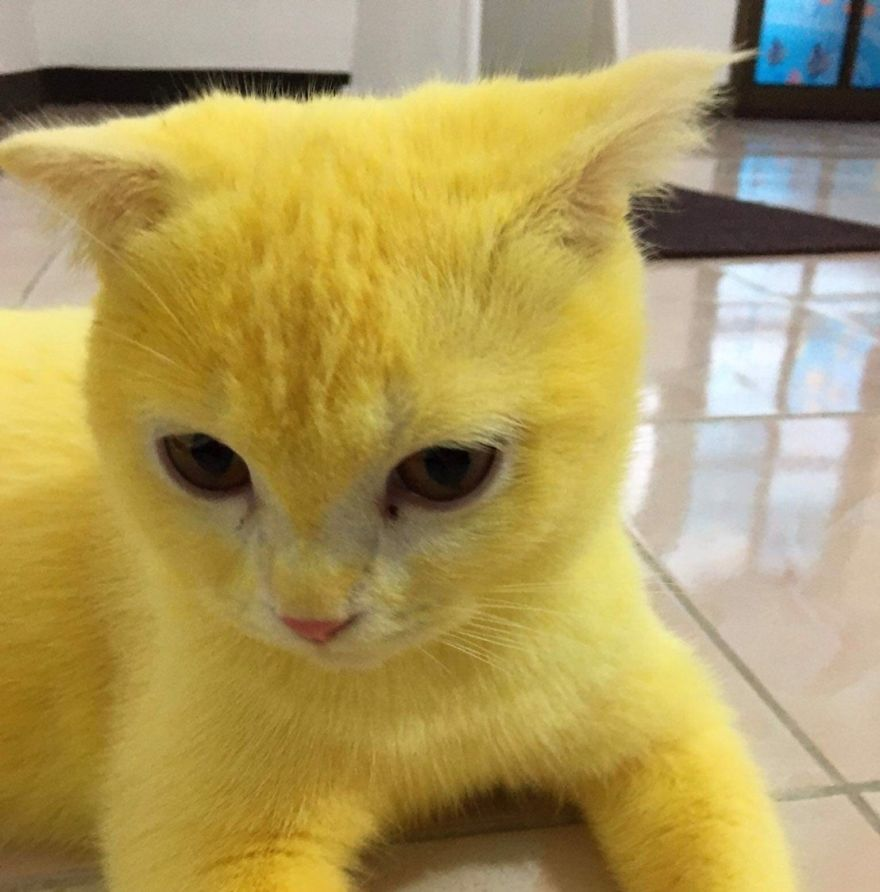 This-cat-looked-like-Pikachu-after-its-owner-passed-turmeric-in-a-skin-treatment-5f44be1b025cd__880