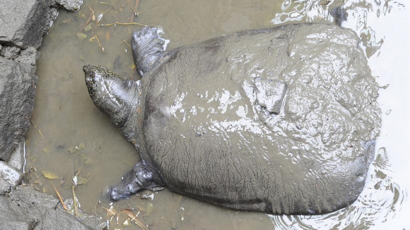Zmarła samica jednego z najrzadszych żółwi świata. Miała ponad 90 lat