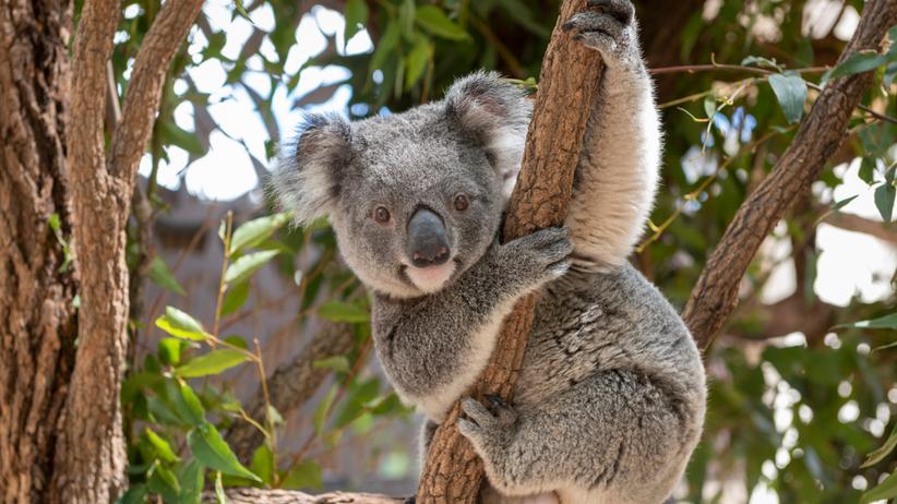 koale zagrożone wyginięciem