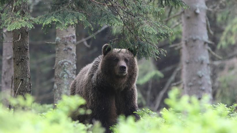 Atak niedźwiedzia w Bieszczadach. Mężczyzna z wieloma obrażeniami