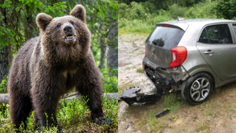 Bieszczady niedźwiedź
