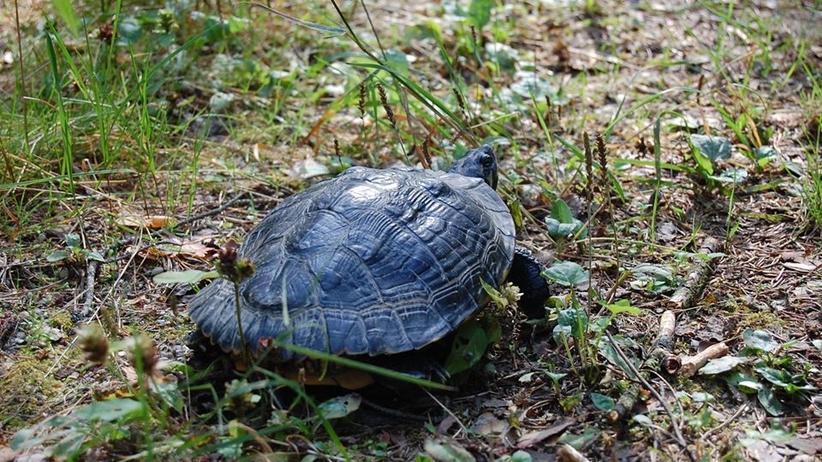 Żółw żółtobrzuchy w polskim lesie