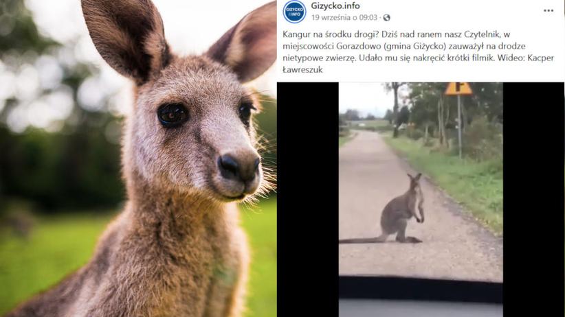 kangur na Mazurach