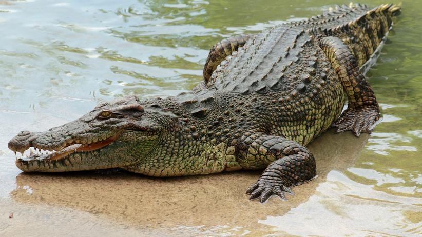 Krokodyl w jeziorze Kunickim