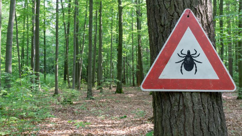 Nowy gatunek kleszcza w Polsce. Haemaphysalis concinna przenosi groźne choroby