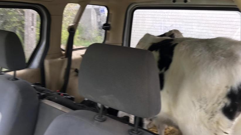 Wsadził dwie krowy do bagażnika forda. ''Nie miał ochoty podpinać przyczepy''