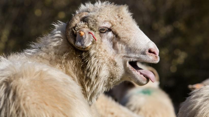 Owca Plus