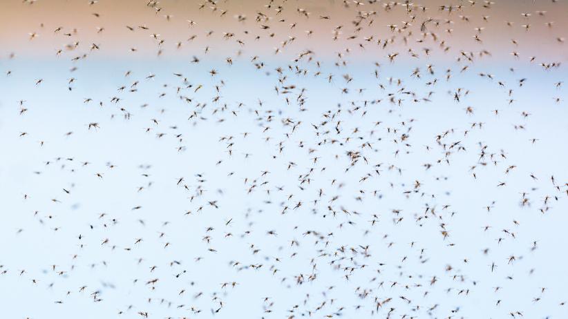 Inwazja komarów w Świętokrzyskiem. Politycy chcą użyć wojska