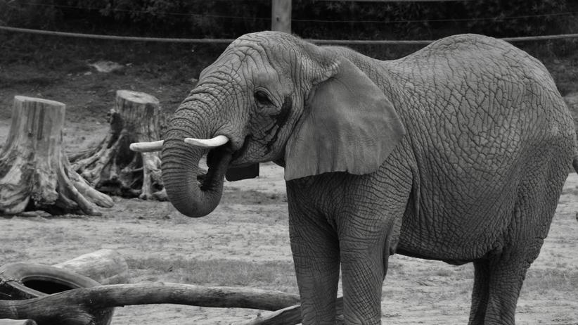 słonica Linda