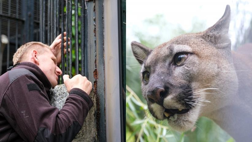 Puma Nubia już w chorzowskim zoo. Jej wieloletni właściciel przystał na ugodę