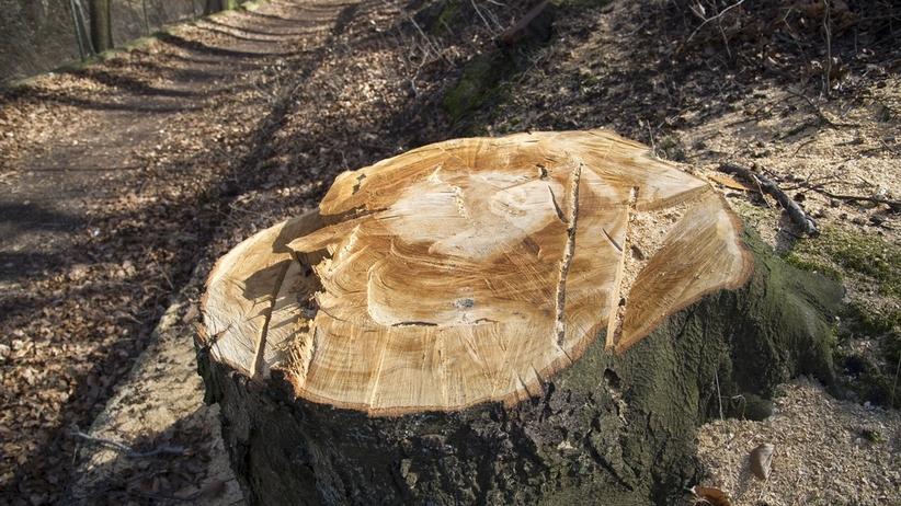 Koszmar podczas zbierania drewna. Ścięte drzewo zabiło jedną osobę