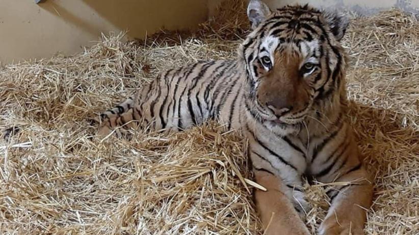 """Tygrys z zoo w Poznaniu po operacji walczy o życie. Jest nadzieja, Gogh """"zjadł rosołek"""""""