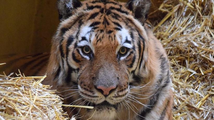 Tygrysy dojechały do Hiszpanii, ale dwa wciąż dochodzą do siebie w zoo w Poznaniu
