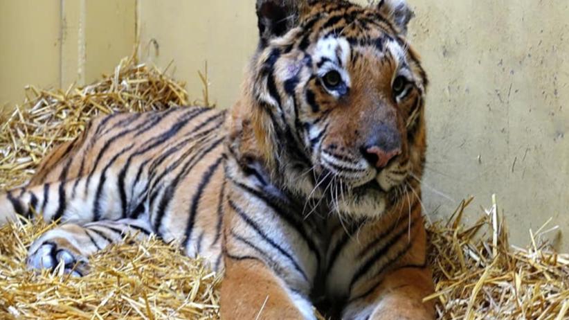 Tygrysy, które zostały w zoo w Poznaniu, walczą o zdrowie