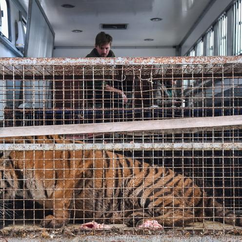 Tygrysy na granicy polsko-białoruskiej w Koroszczynie uratowane przez zoo w Poznaniu