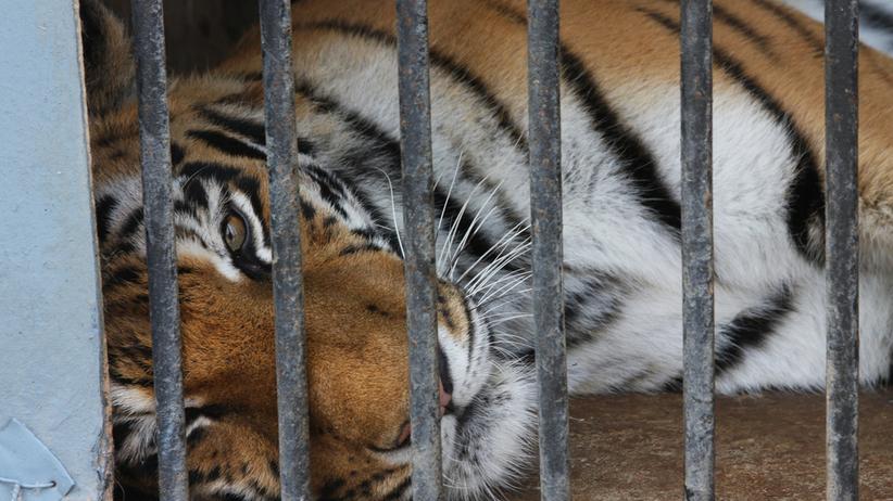 Tygrysy na granicy polsko-białoruskiej w Koroszczynie. Zoo Poznań przyjmie część kotów