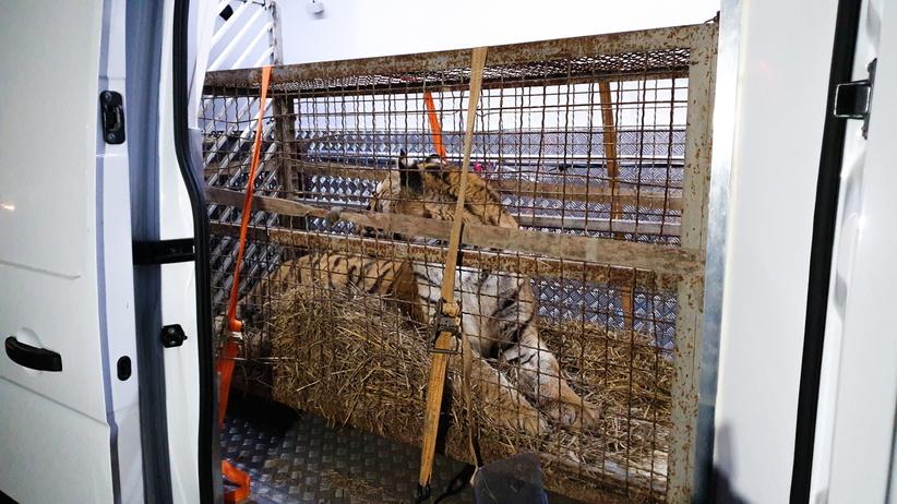 Tygrysy uwięzione w klatkach na granicy. Jest areszt dla organizatora transportu