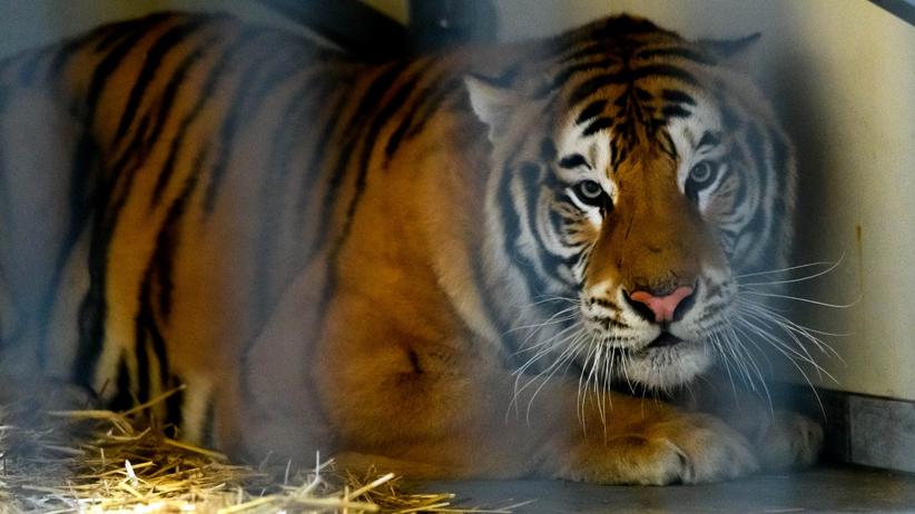 Tygrysy w zoo w Poznaniu znów zagrożone. Rosjanie chcą je odzyskać?