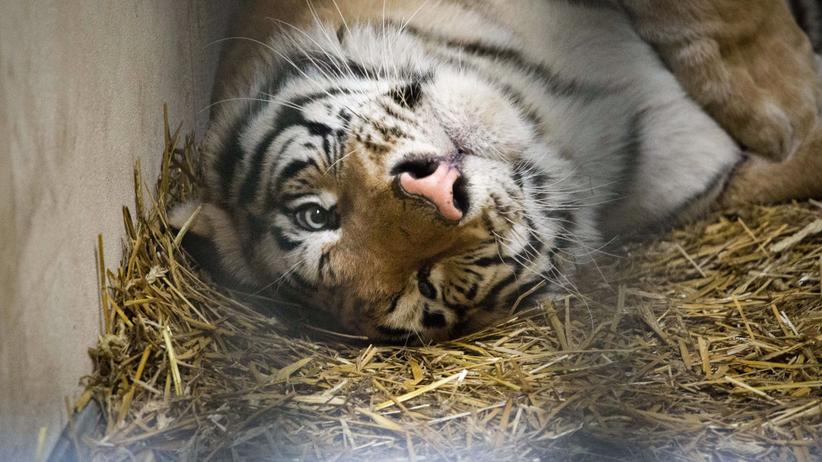 Tygrysy wyjadą z zoo w Poznaniu do azylu w Hiszpanii. Dwa tygrysy są w złym stanie
